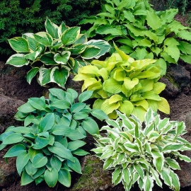 «Mix» - Organic Hosta Seeds