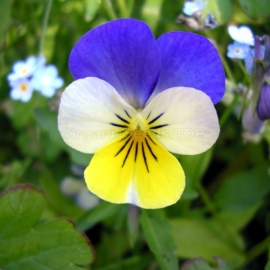 «Halen» - Organic Horned Violet Seeds