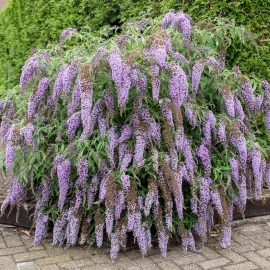 «Violeta» - Organic Butterfly Bush Seeds