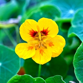 «Moonlight» - Organic Garden Nasturtium Seeds
