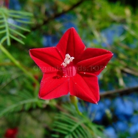 «Pennata Red» - Organic Cypress Vine Seeds