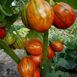 «Mantle» - Organic Eggplant Seeds