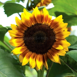 «Ring of Fire» - Organic Sunflower Seeds