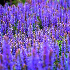 «Blue Fortune» - Organic Anise Hyssop Seeds (Agastache foeniculum)