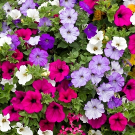 «Southern Star Mix» - Organic Petunia Seeds