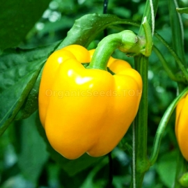 «Orange Miracle» - Organic Pepper Seeds