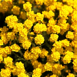 «Basket of Gold» - Organic Alyssum Seeds