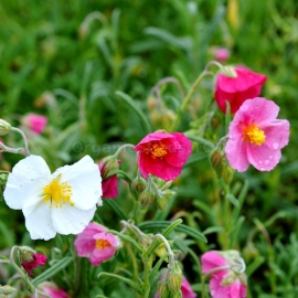 «Mutabile Mix» - Organic Rock Rose Seeds