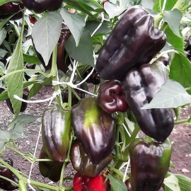 «Black Horse» - Organic Pepper Seeds