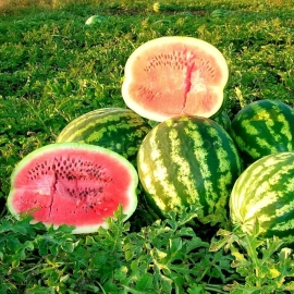 «Rose of the Southeast» - Organic Watermelon Seeds