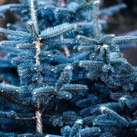Organic Colorado Blue Spruce Seeds (Picea pungens f. Glauca)