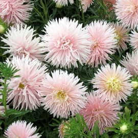 «Unicom White» - Organic Aster Seeds