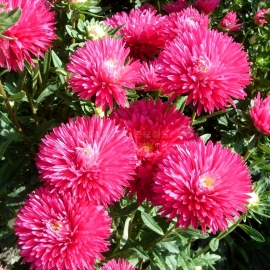 «Unicom Rose» - Organic Aster Seeds
