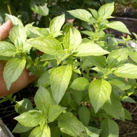 «Lime» - Organic Basil Seeds