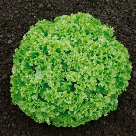 «Green Coral» - Organic Salad Seeds