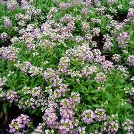 «Rosie O'Day» - Organic Alyssum Seeds