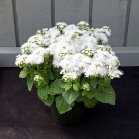 «White River» - Organic Ageratum Seeds