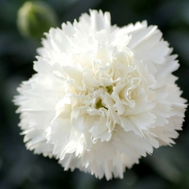 «Grenadin White» - Organic Carnation Seeds