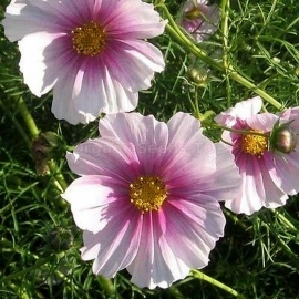 «Day Dream» - Organic Cosmos Seeds