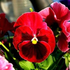 «Red With Black Dot» - Organic Viola Seeds