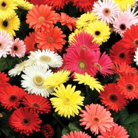 «Rays Mix» - Organic Gerbera Seeds