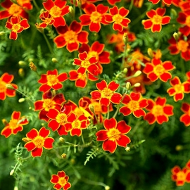 «Mexican Mint Orange» - Organic Tagetes Seeds