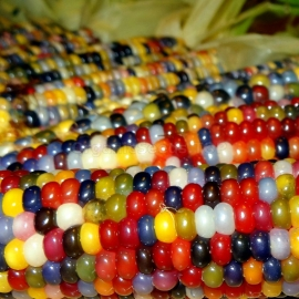 «Glass Gem» - Organic Corn Seeds