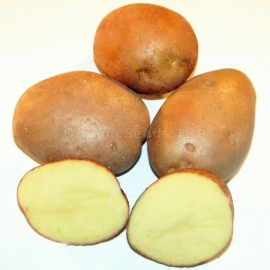 «Revanche» - Organic Potato Seeds