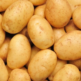 «Gonna» - Organic Potato Seeds