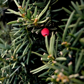 Organic English Yew Seeds (Taxus baccata)