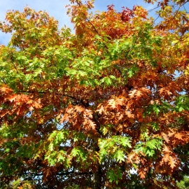 Organic Northern Red Oak Seeds (Quercus Rubra)