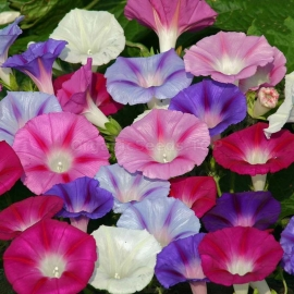 «Mix» - Organic Ipomoea Seeds