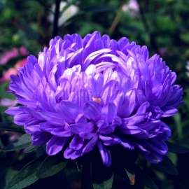 «King Size Blue» - Organic China Aster Seeds