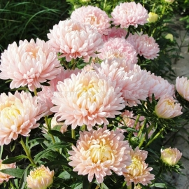 «King Size Apricot» - Organic China Aster Seeds