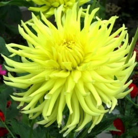 «Yellow Start» - Organic China Aster Seeds