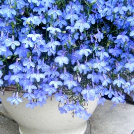 «Light-Blue» - Organic Lobelia Seeds