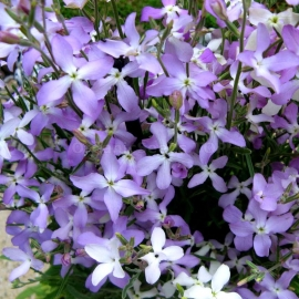 «Bicornis» - Organic Evening Scented Stocks Seeds