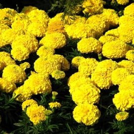 «Yellow» - Organic Tagetes Seeds
