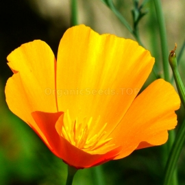 «California King» - Organic Eschscholzia Seeds