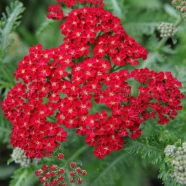 «Ruby Red» - Organic Achillea Seeds