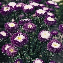 «Pompon Blue» - Organic China Aster Seeds