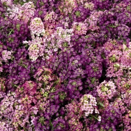 «Mulberry Mix» - Organic Alyssum Seeds