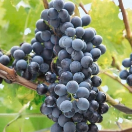 «Lidia» - Organic Grape Seeds