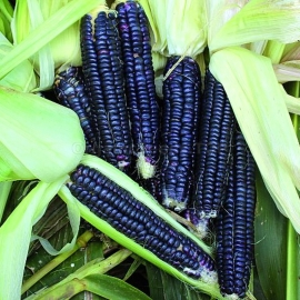 «Black Aztec» - Organic Corn Seeds