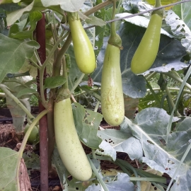 «Louisiana Long Green» - Organic Eggplant Seeds