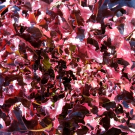 «Red Salad Bowl» - Organic Salad Seeds