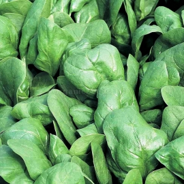«Winter Giant» - Organic Spinach Seeds