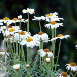 «Maikonigin» - Leucanthemum Vulgare Seeds