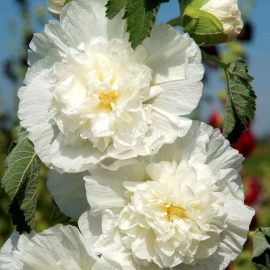 «The Bride» - Organic Hollyhock Seeds
