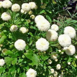 «Snowball» - Organic Parthenium Seeds